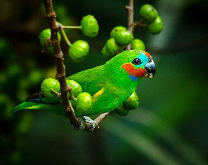 Stunning photo of a male Double-eyed Fig-Parrot